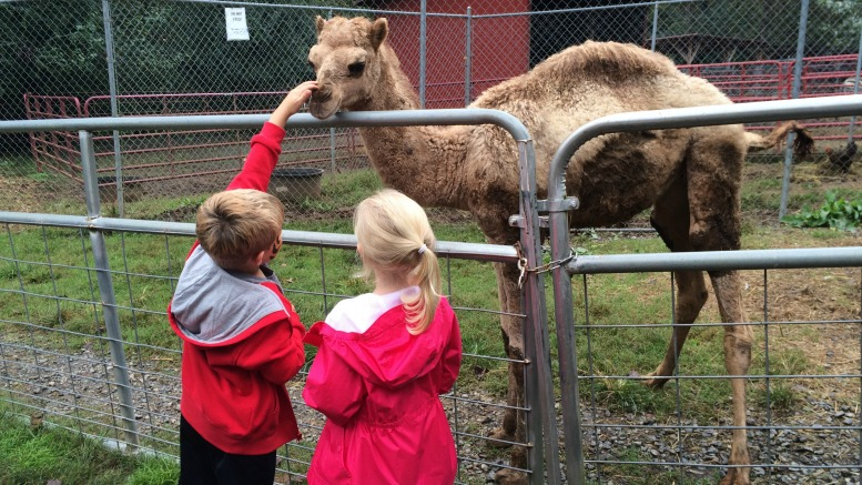Petting the camels at the North Georgia Zoo